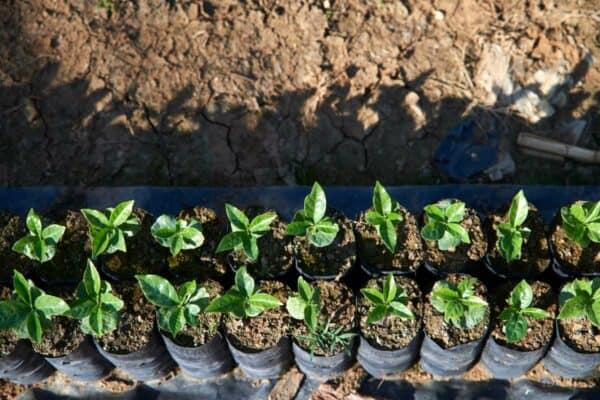 Guatemala Huehuetenango - Finca El Frutal -