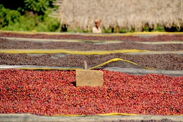 Etiopia Guji Gr.1 - Natural -