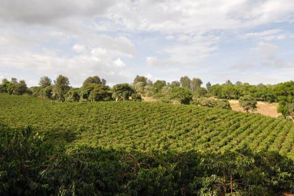 Tanzania Lungwa AA -